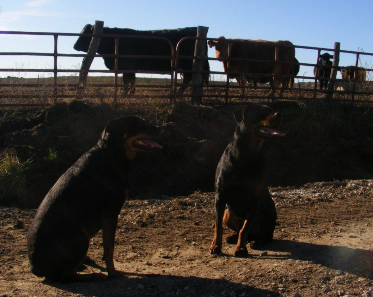 Rottweilers were selectively bred to work with cattle.