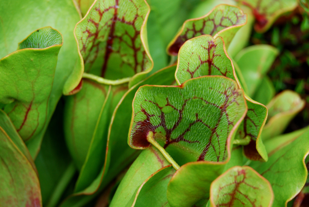 Pitcher plants are increasingly in-demand, and can be absurdly easy to divide and propagate. Use this to your advantage as a bargaining chip or a side hustle.