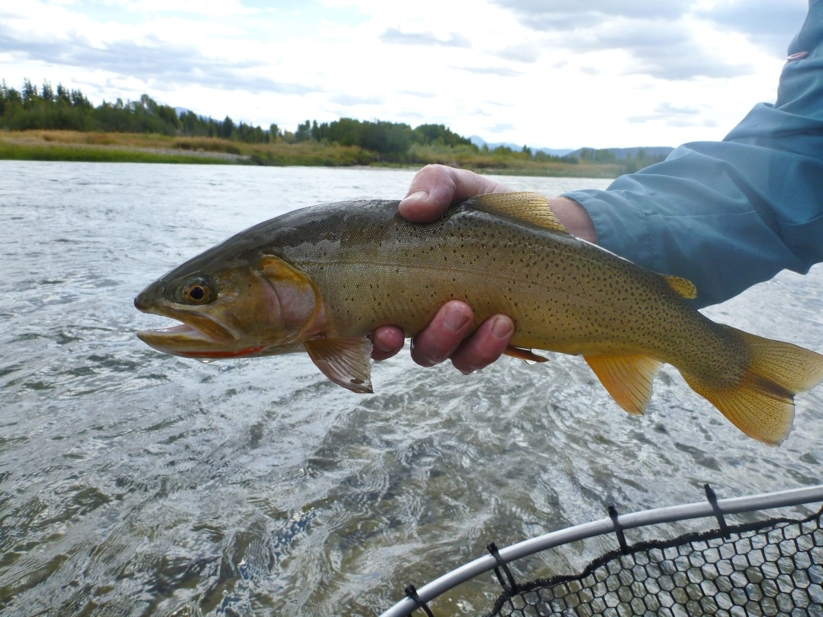 Cutthroat Trout - Snake River in Wyoming - Dry fly fishing at it's finest.