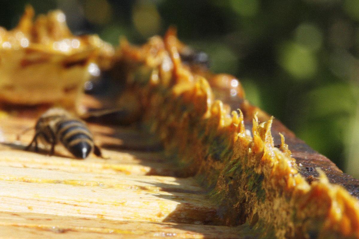 propolis in beehive