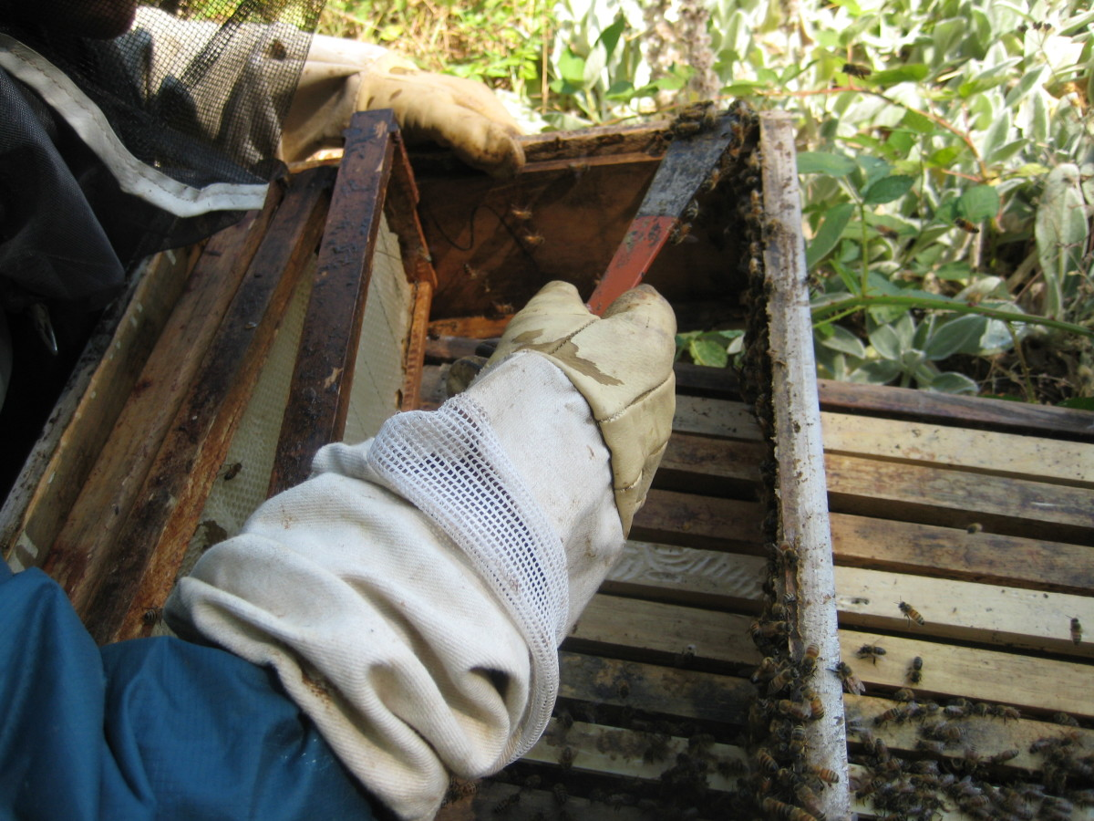 scraping propolis from the bee hive