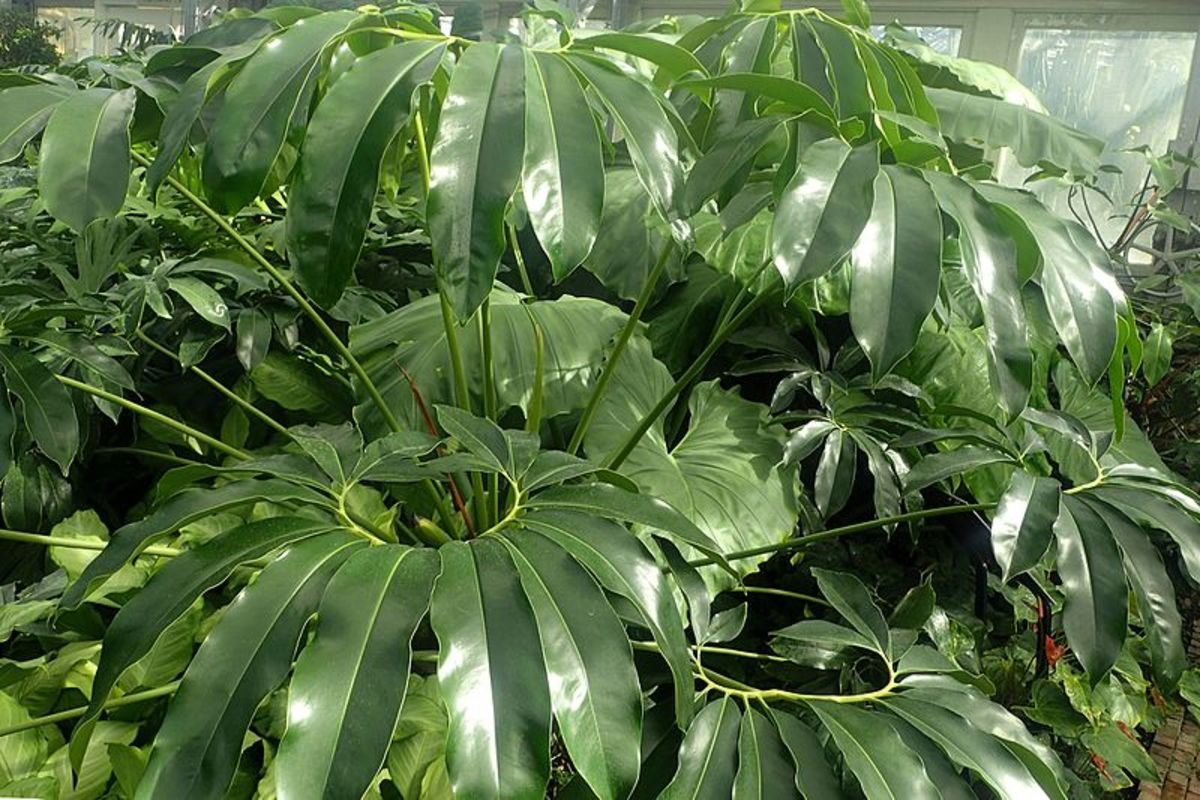 Philodendrons are a snap to cultivate, but to maximize your swapping/selling power, focus on less common, unusual varieties (like this P. goeldii).