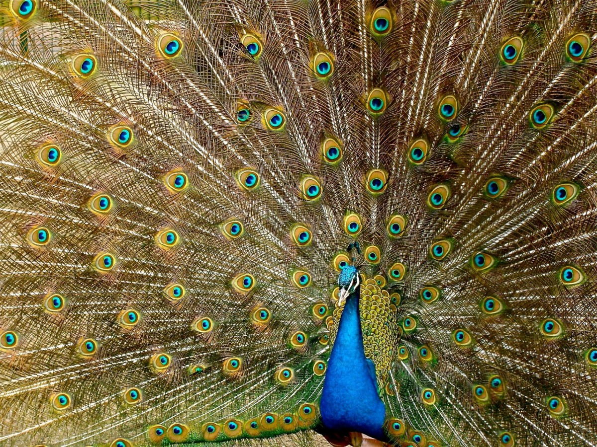 Peacock displaying its beautiful tail.