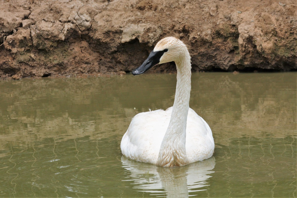 Swan in a muddy pond.
