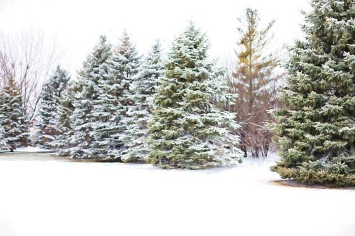A pine tree covered by snow offers a surprisingly dry and comfortable haven under its branches.
