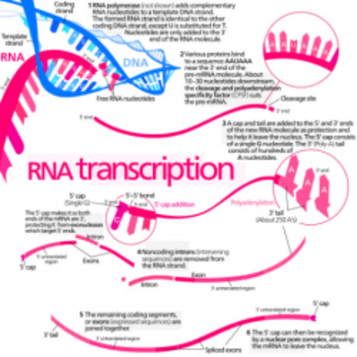 Protein Synthesis Diagram
