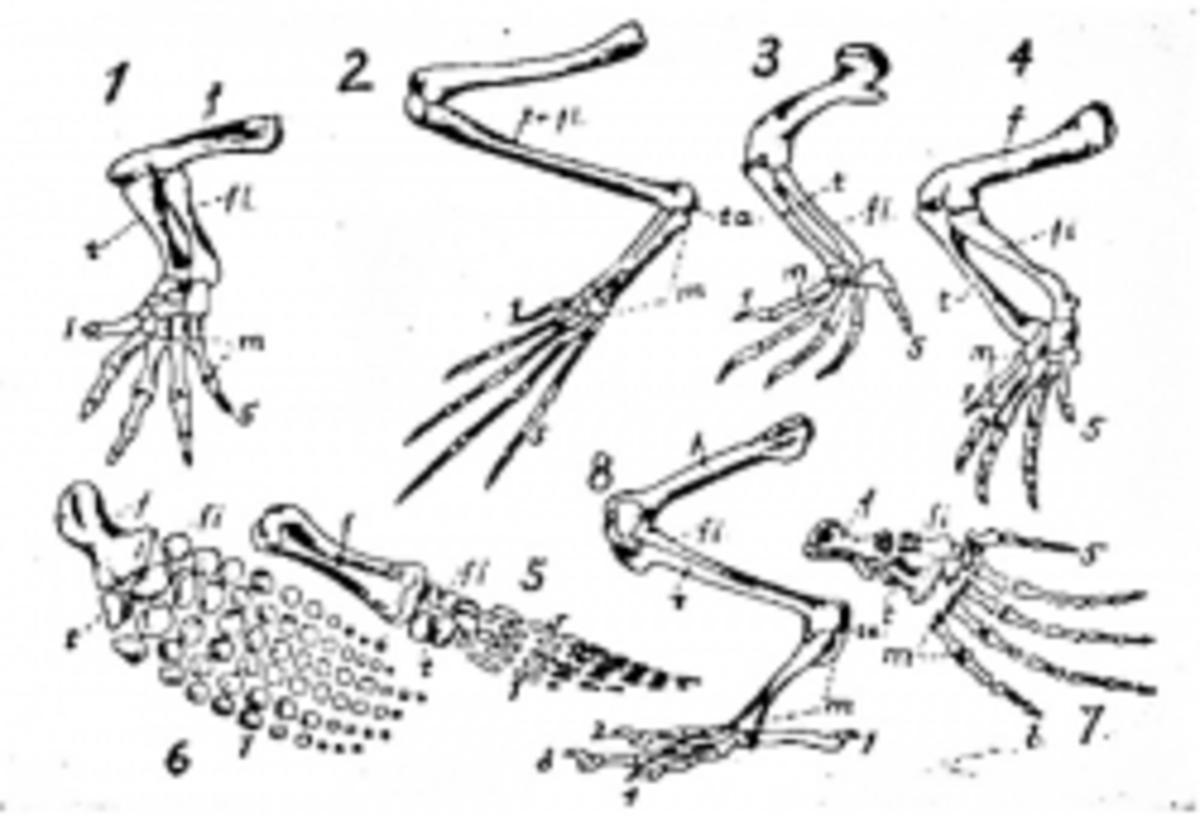 Diagram of Homologous Structures
