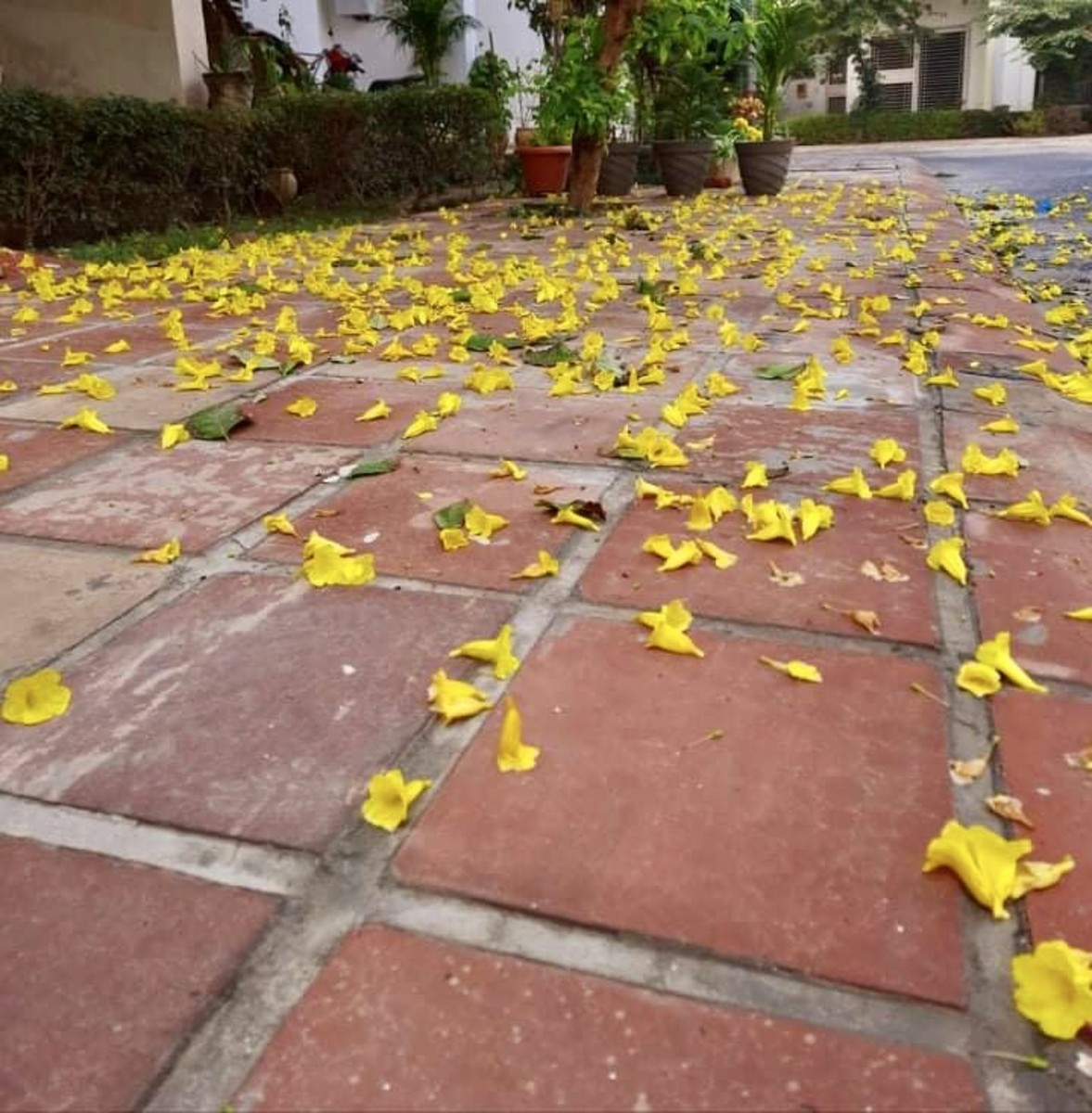 Walking past the fallen flowers, once bloomed with pride