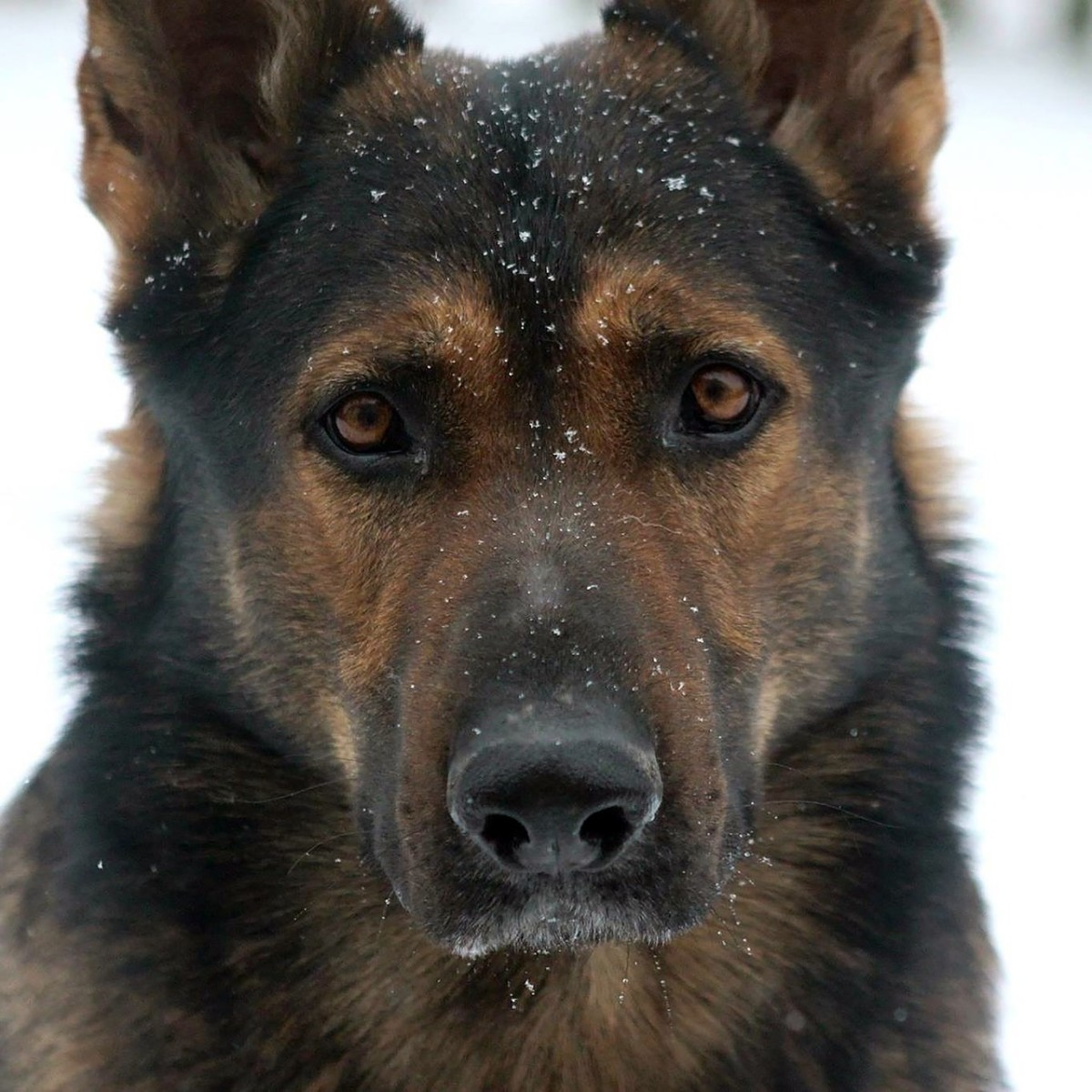 the-best-leashes-collars-for-german-shepherds