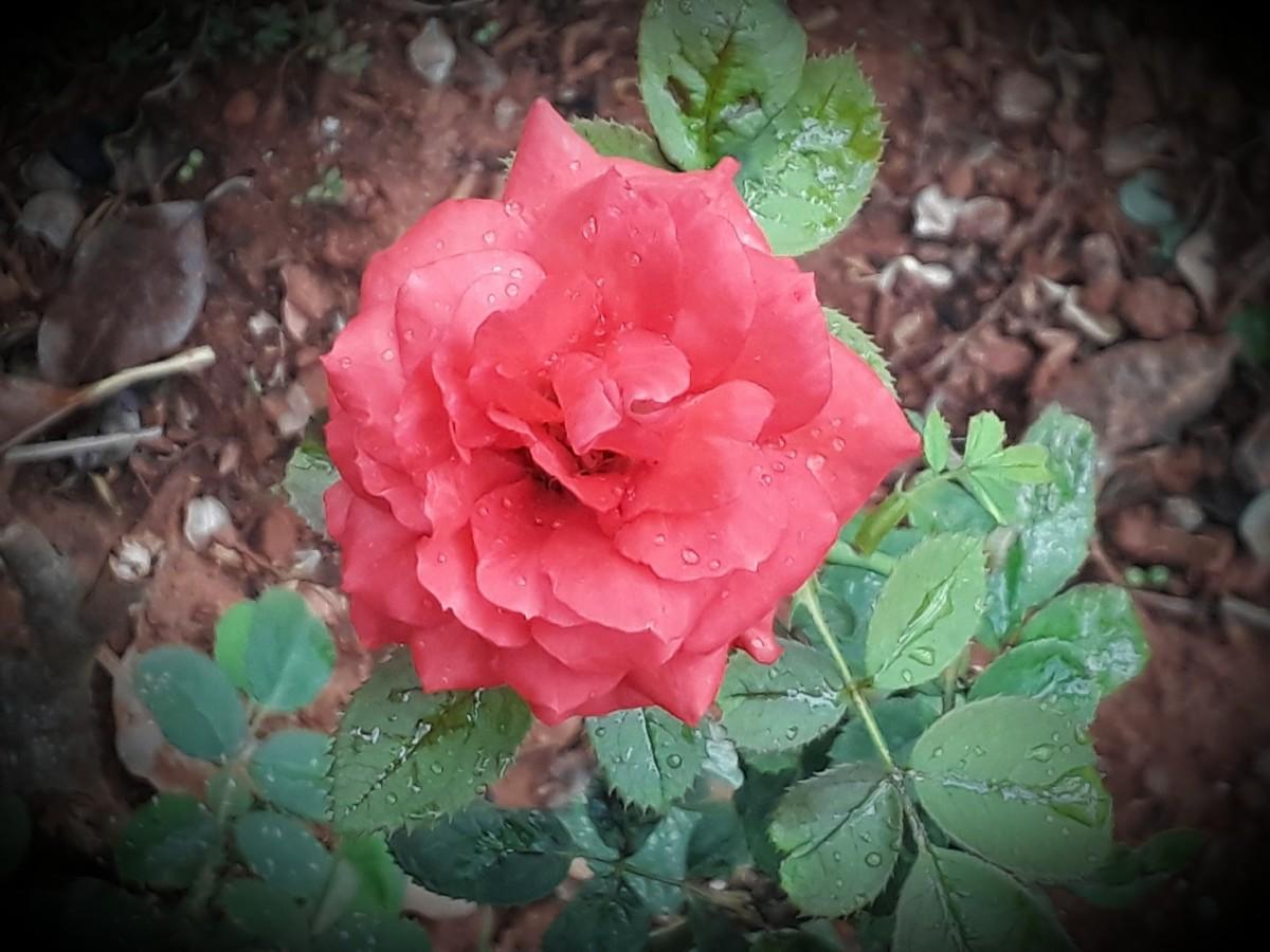Rain drops on a rose flower