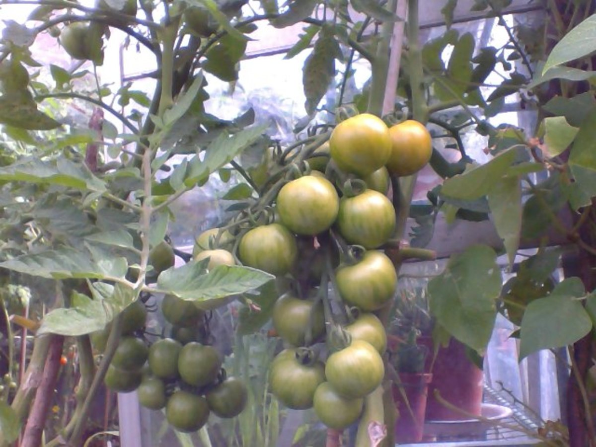 Tiger Tomatoes in pots
