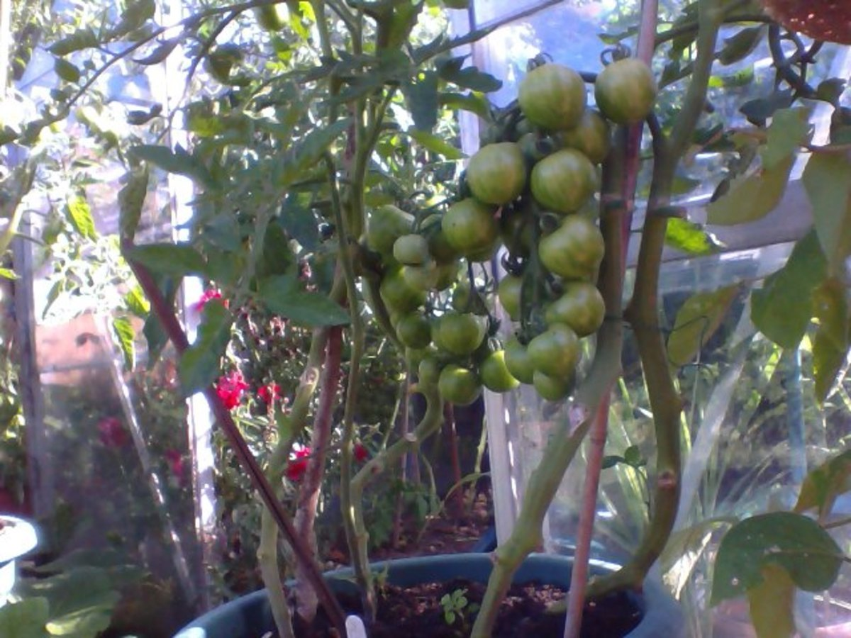 Potted Tomatoes