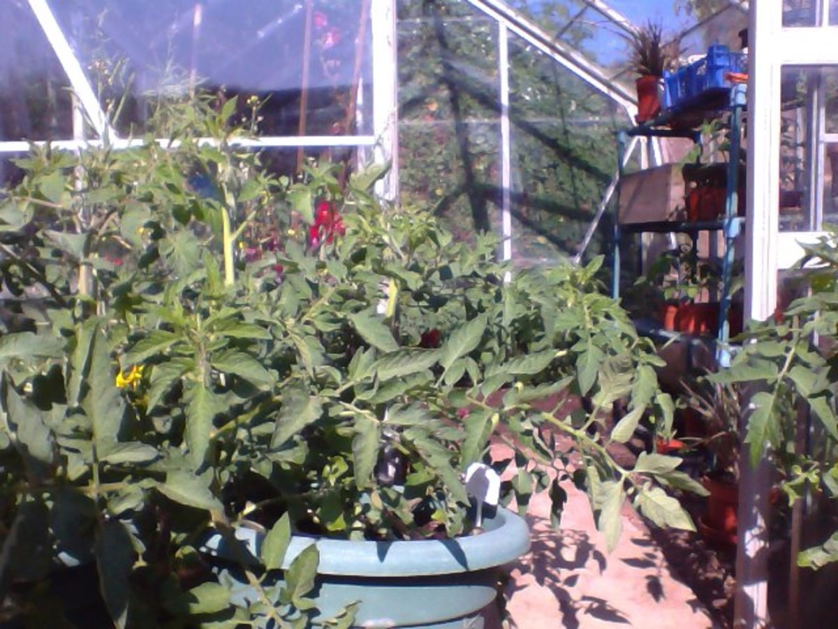 Tomatoes in a pot or container