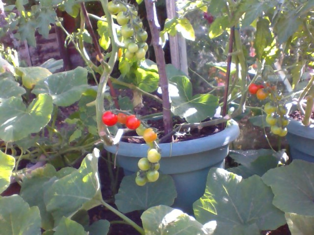 Ripening cherry Tomatoes in Pots