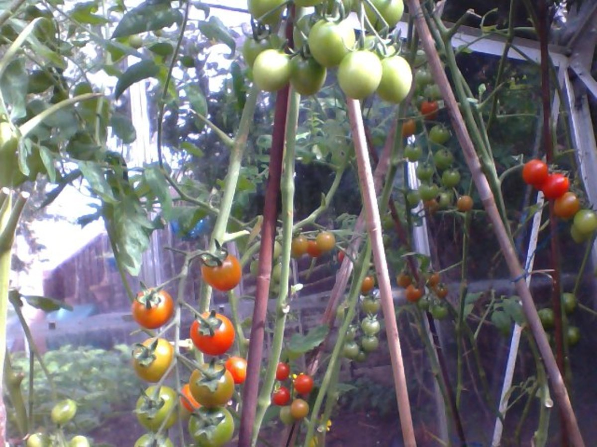 Cherry Tomatoes in greenhouse