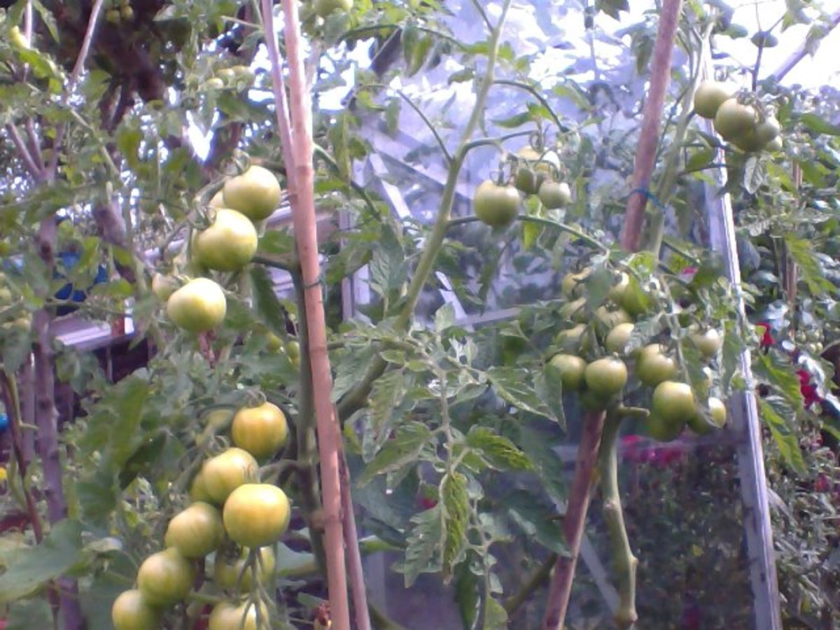 Tiger Tomatoes