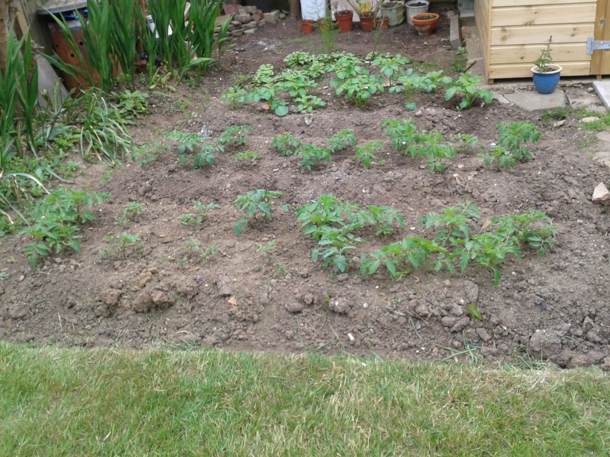 Tomatoes planted directly into the plots