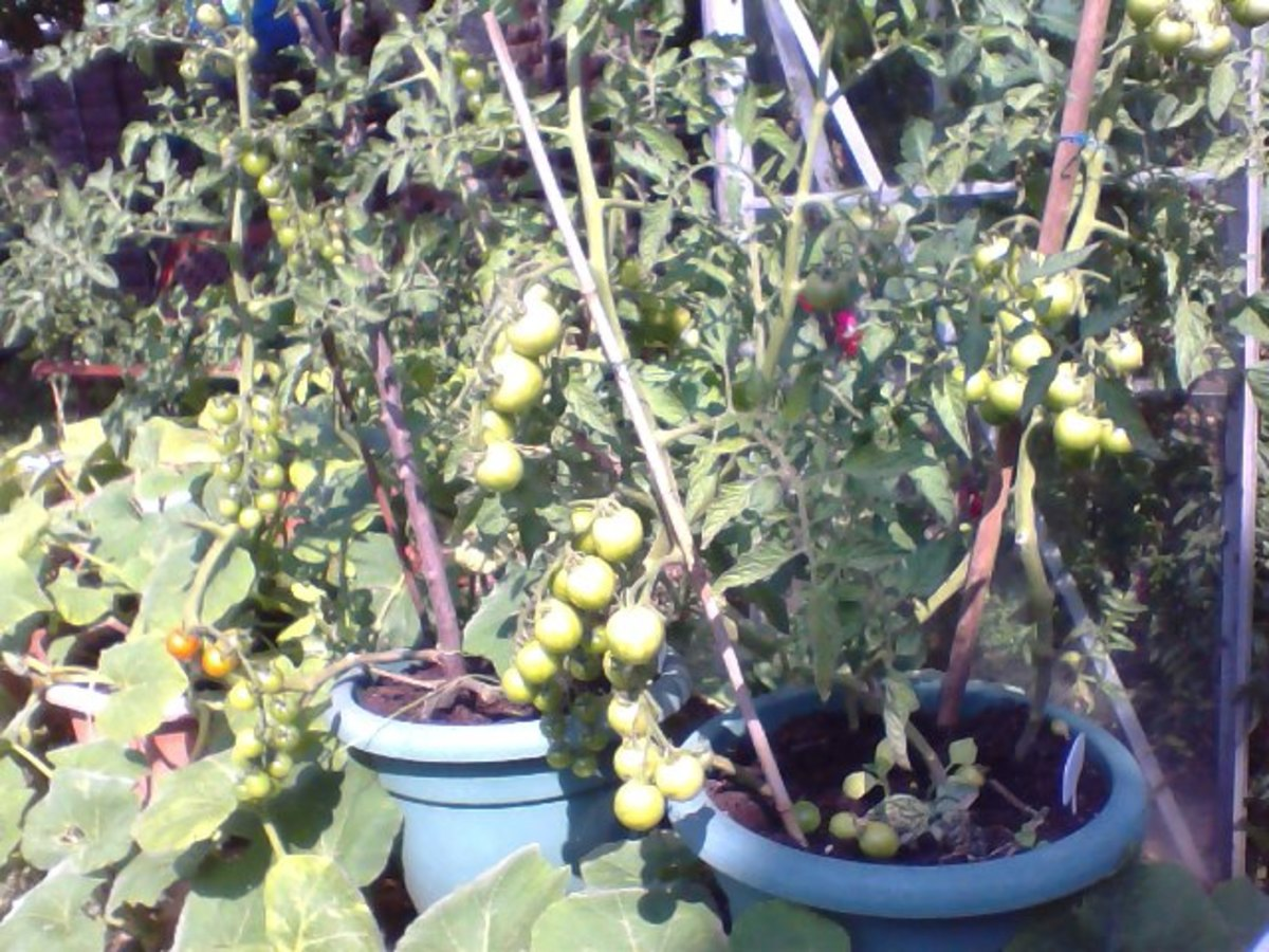 Tomatoes planted in Pots