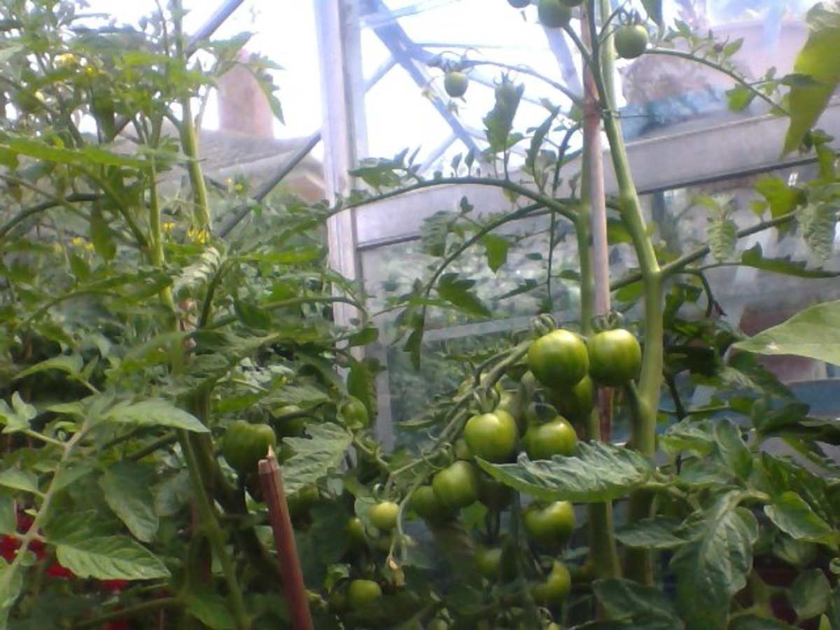 Tomatoes in pots or container