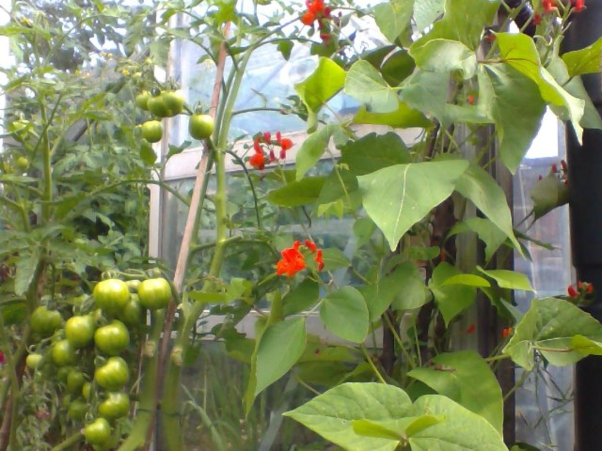 Tomatoes and potted Runner Beans