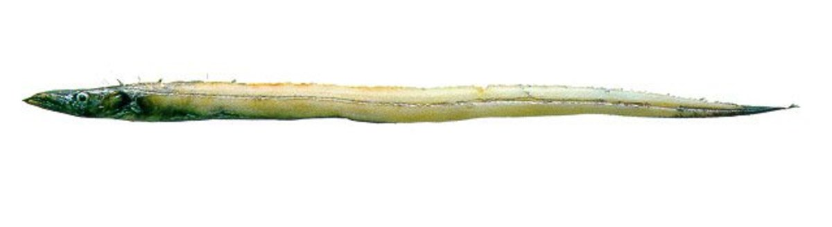 There are vast differences between conventional Whitebait and those found in Blackwater Stream.