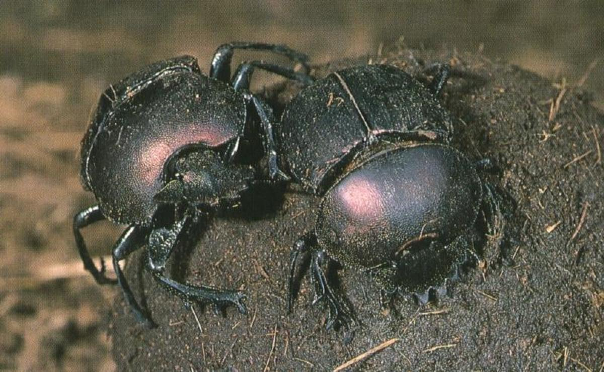 African Dung Beetles may just hold the key to changing the incontinent efforts of the movers and shakers in Bumble Town.