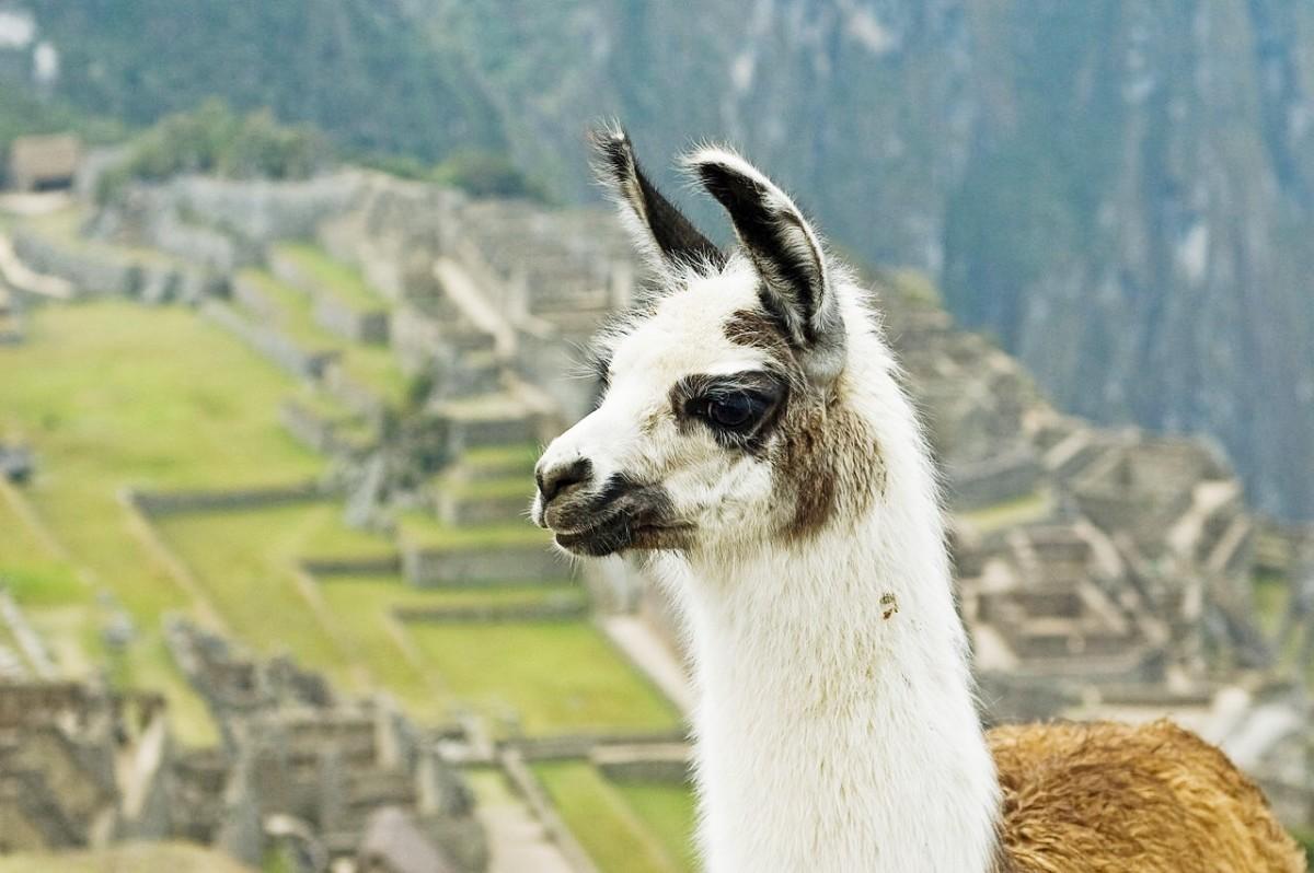Llama Antibodies, Coronavirus Facts, and an Intriguing Relationship