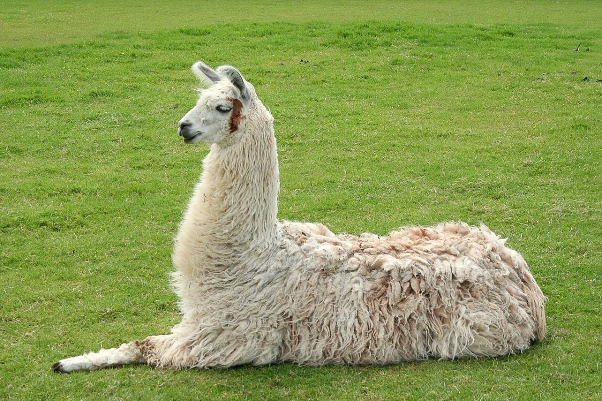 This llama is lying down, a behaviour also known as cushing or kushing.