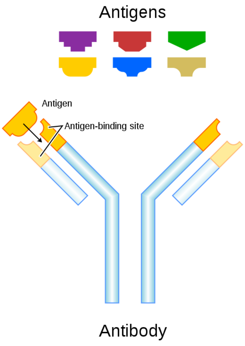 Structure of an antibody