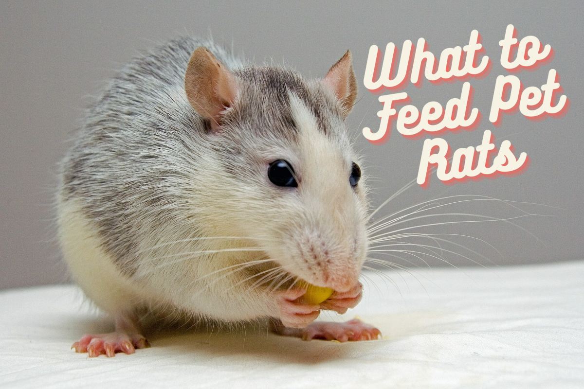The Best Foods for Your Pet Rats