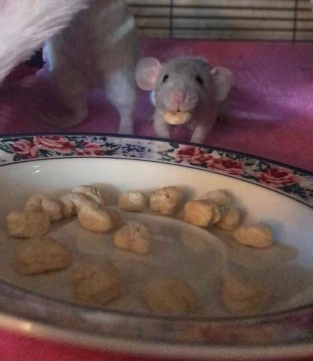 Baby rat with a treat.