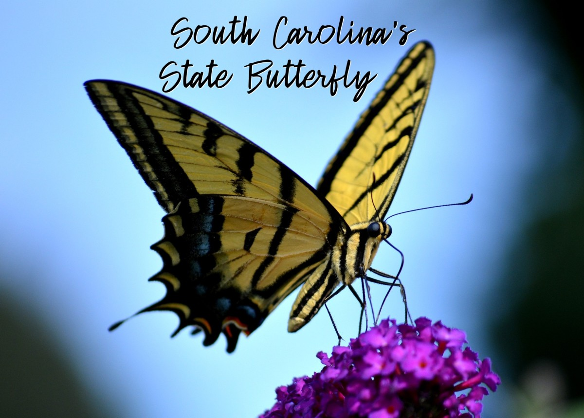 The State Butterfly of South Carolina: The Eastern Tiger Swallowtail