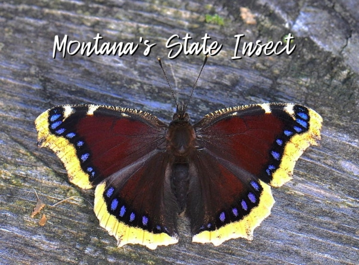 The State Insect of Montana: The Mourning Cloak Butterfly