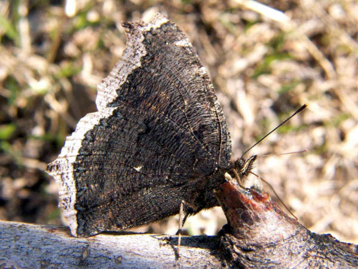 -state-insect-of-montana