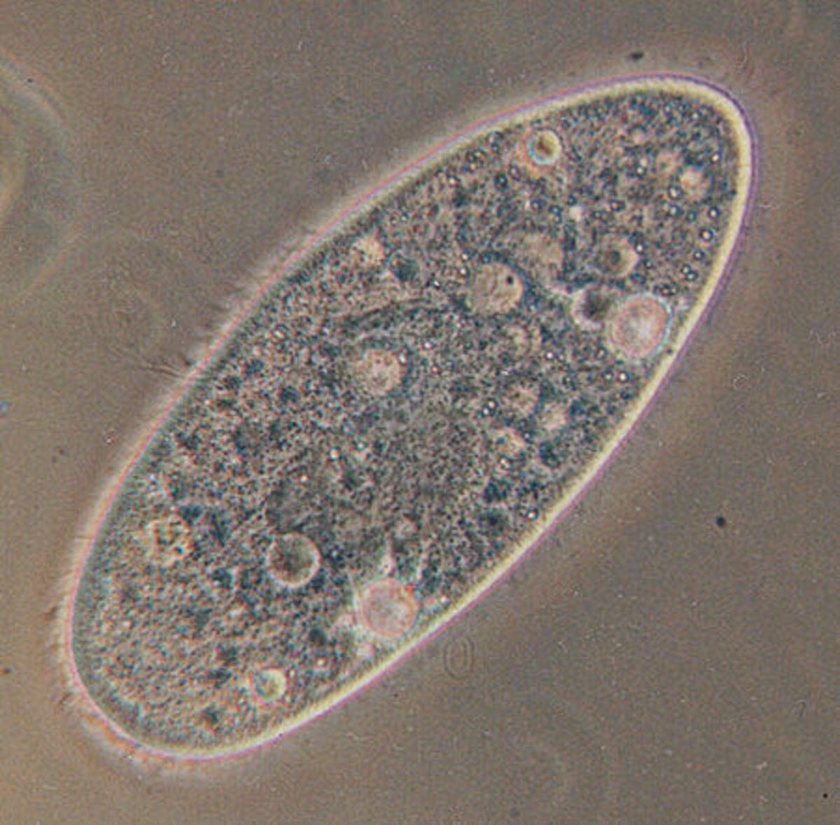 Paramecium - an example of a protoctist. This kingdom shows huge variety, as is more like the 'junk-drawer' of the classification system
