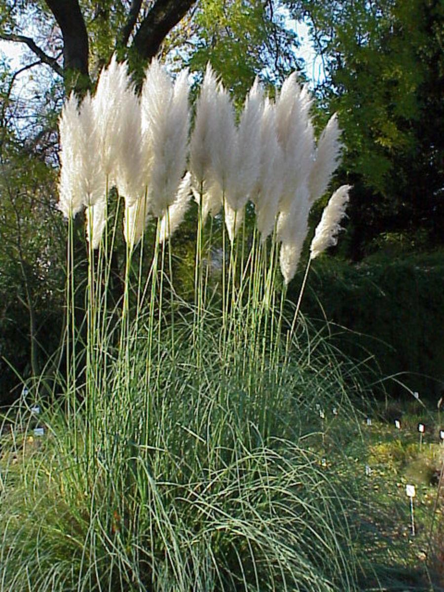 How to Grow Pampas Grass, an Ornamental Grass