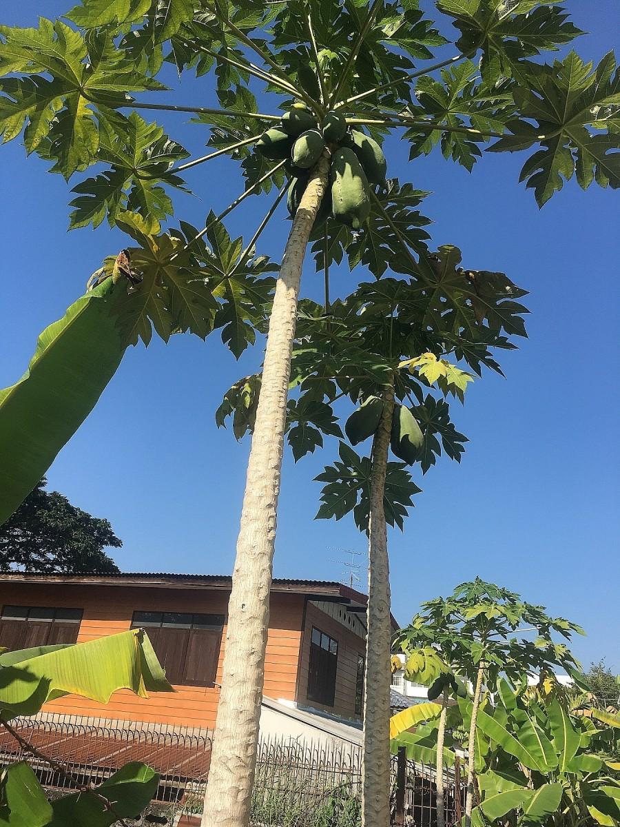 Papaya Plant next to our home