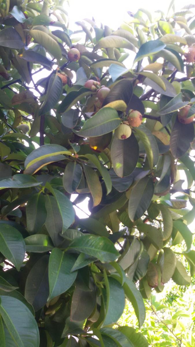 Mangosteen tree in our backyard