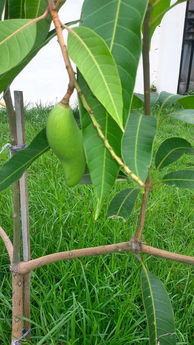 Mango Tree three months old.  Taken 2015