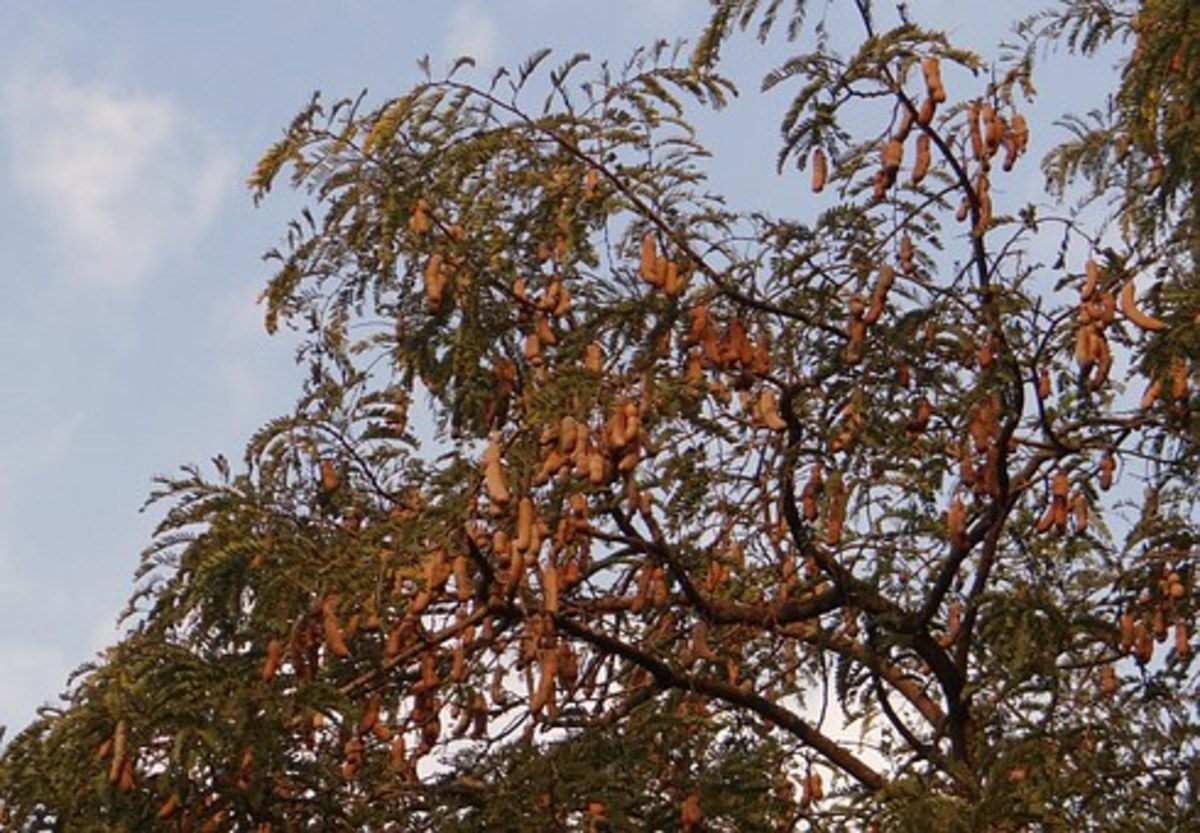 tropical-fruit-trees-around-my-home-in-thailand
