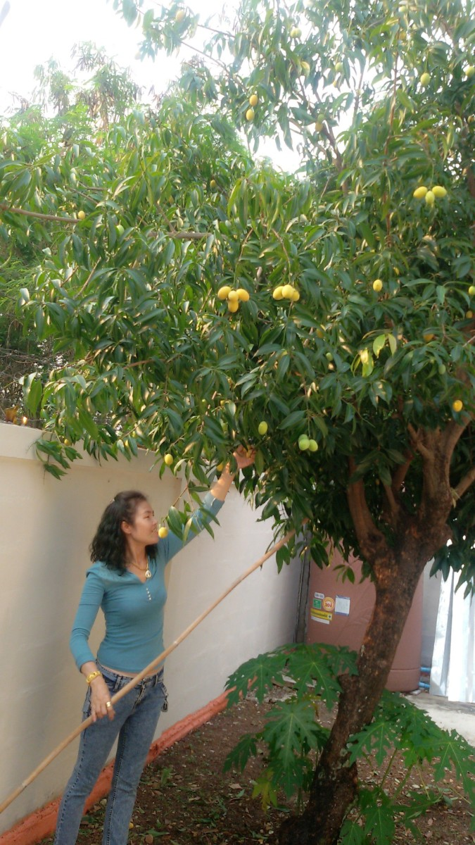 My wife under our Mariam plum tree.