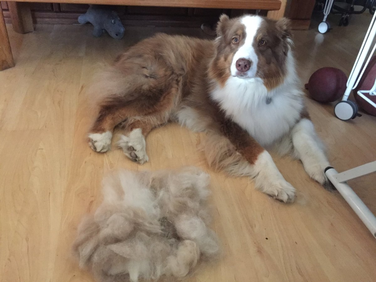 This is Cooper after a brushing. There may be enough hair to make another Aussie!