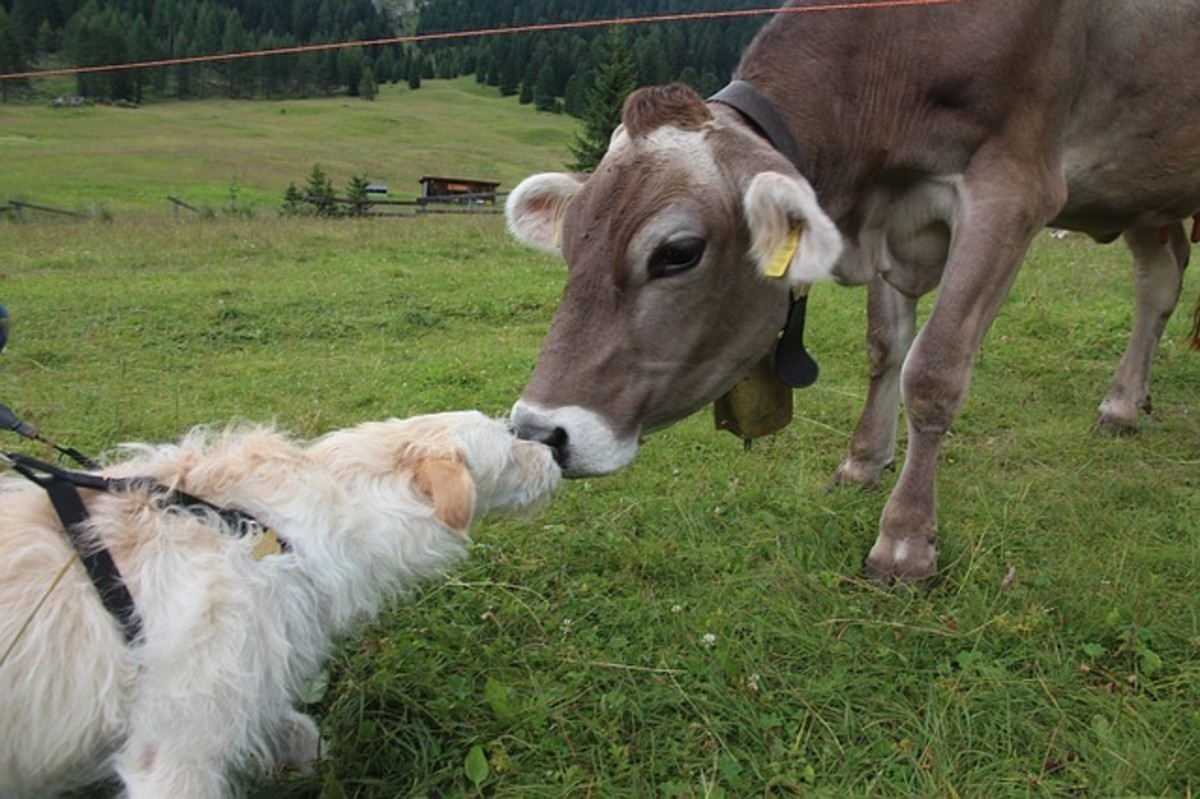 Cows can potentially injure a dog when frightened.