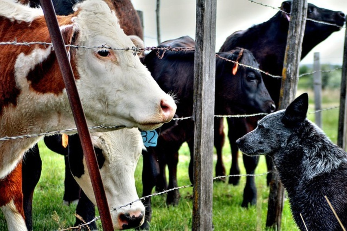 Some dog breeds are naturally drawn to cows.