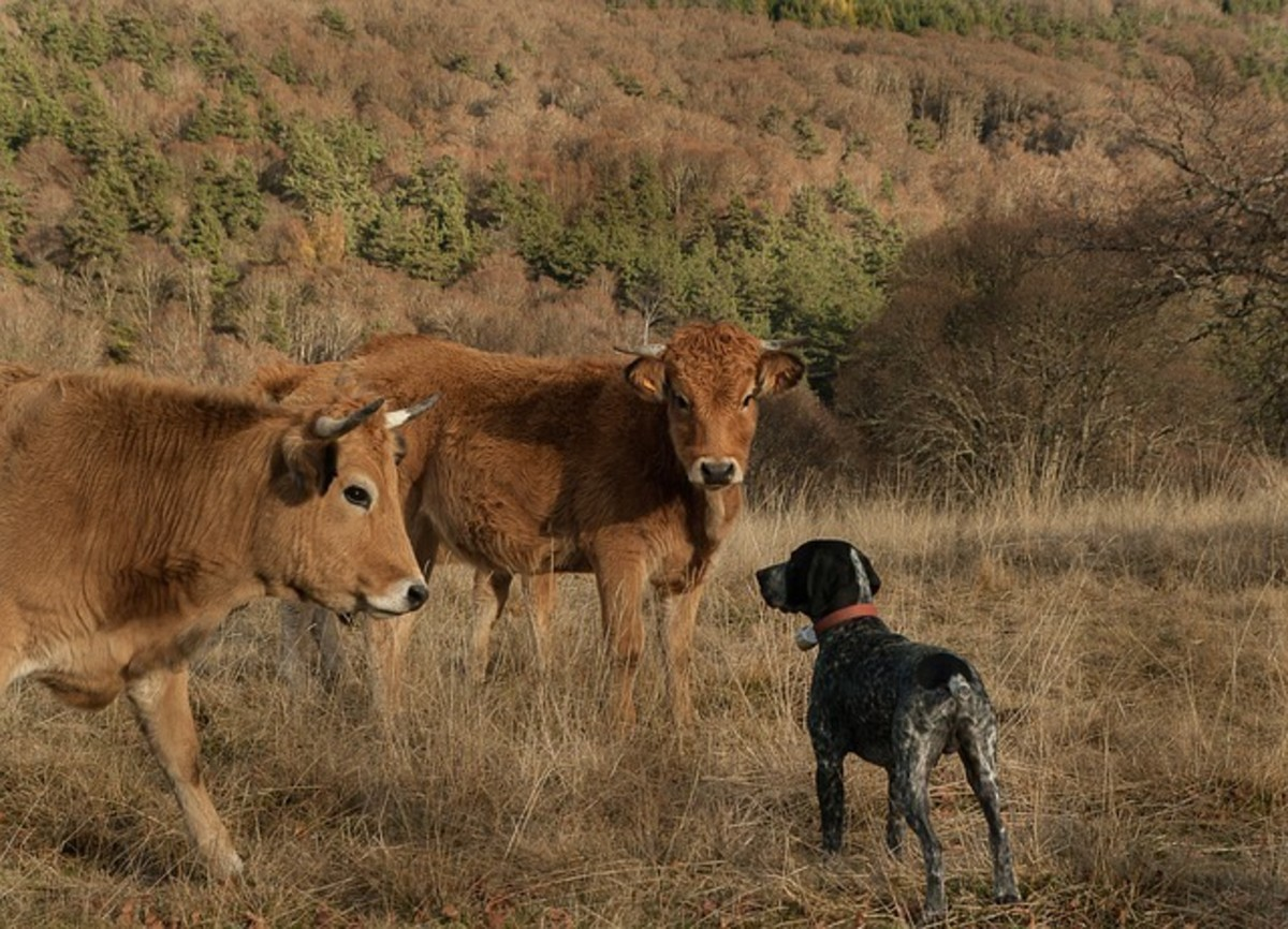 How to Stop a Dog From Chasing Cows