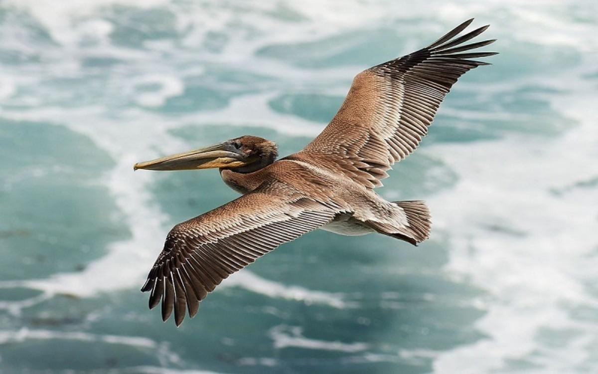 A juvenile brown pelican (Pelecanus occidentalis californicus) glides above the waves of the Pacific Ocean at Bodega Head, California.