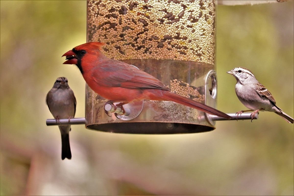 A bird feeder will attract lots of colorful birds (like this red cardinal) to your backyard.