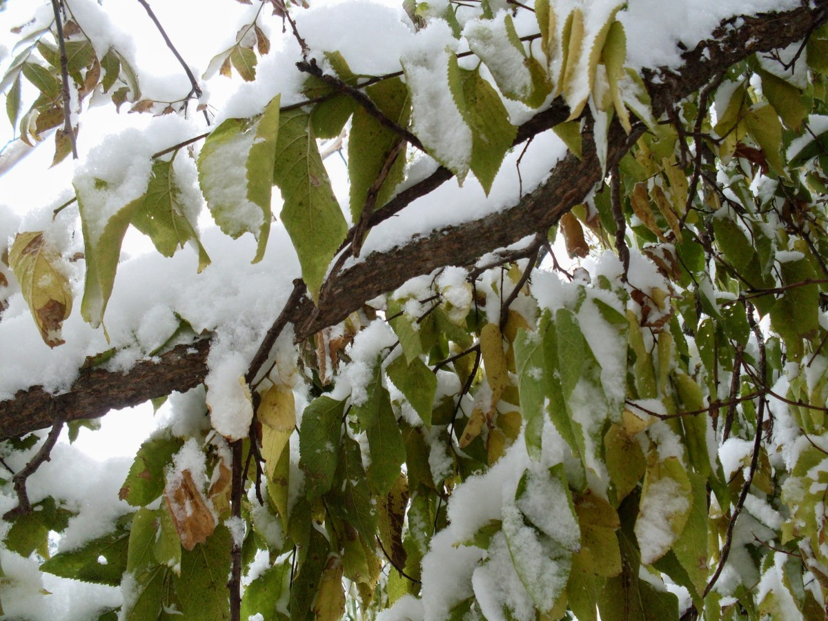 Ash tree leaves insulated from the cold by kindly snow.