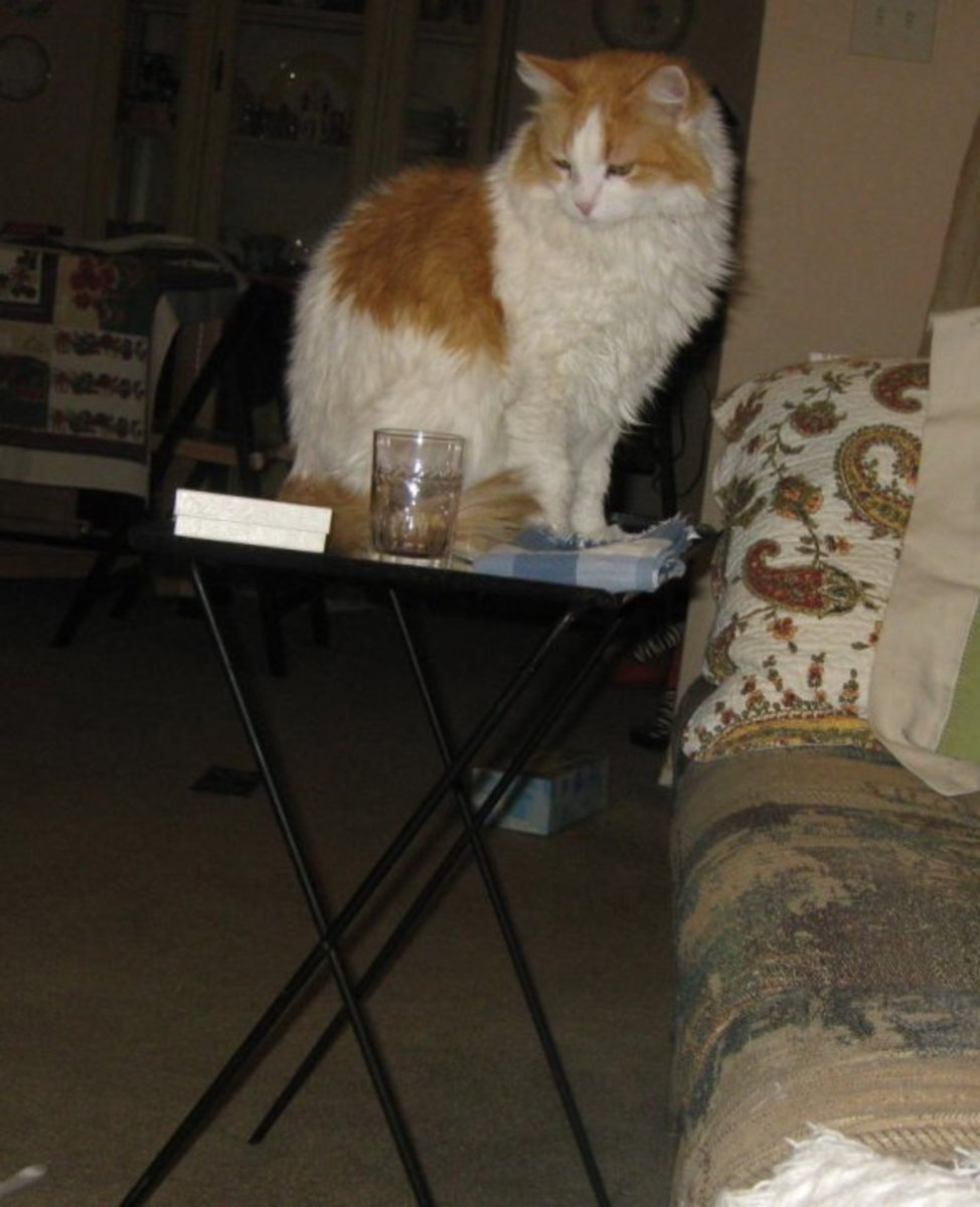 Scarlett's getting old but she can still jump up on things, like this TV tray.