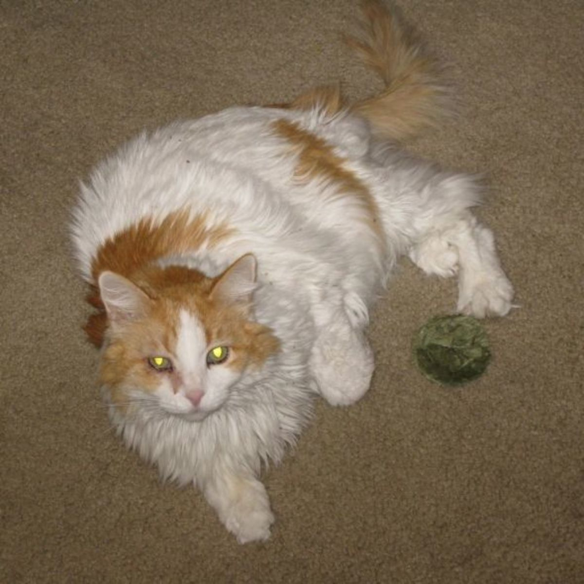 Scarlett had been throwing this catnip toy in the air, but she paused to look into the camera.